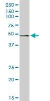 Western blot - RRAGB antibody (ab103671)