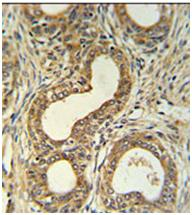 Immunohistochemistry (Formalin/PFA-fixed paraffin-embedded sections) - Robo4 antibody (ab103674)