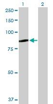 Western blot - QARS antibody (ab103675)