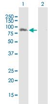 Western blot - LRSAM1 antibody (ab103677)