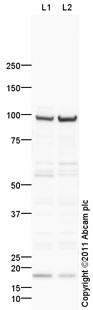 Western blot - Anti-Synaptopodin 2 antibody (ab103710)