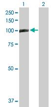 Western blot - TAGAP antibody (ab103796)