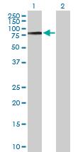 Western blot - COL9A3 antibody (ab103810)