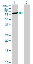 Western blot - STAT1 antibody (ab103813)