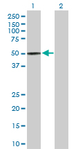 Western blot - PLEKHA1 antibody (ab103821)