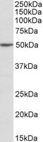 Western blot - MON1A antibody (ab103919)
