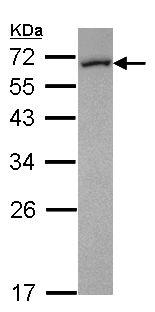 Western blot - FMO5 antibody (ab103973)