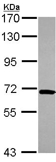 Western blot - NOP58 antibody (ab103975)