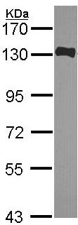 Western blot - FAM29A antibody (ab103979)