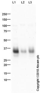 Western blot - FOLR2 antibody (ab103998)