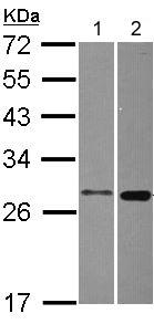 Western blot - MTHFS antibody (ab104009)