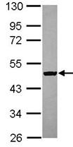 Western blot - C9orf68 antibody (ab104119)