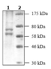 SDS-PAGE - HDAC1 protein (ab104121)