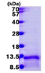 SDS-PAGE - LD78 beta protein (Tagged-His Tag) (ab104122)