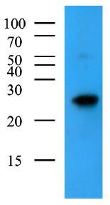 Western blot - Bak antibody [AT8B4] (ab104124)