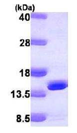 SDS-PAGE - DNAJC19 protein (ab104153)