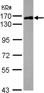 Western blot - Scaffold attachment factor B2 antibody (ab104220)