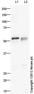 Western blot - Anti-SOX8 antibody (ab104245)