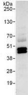 Immunoprecipitation - SUGT1 antibody (ab104253)