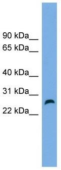 Western blot - FAM3D antibody (ab104314)