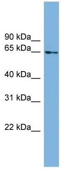 Western blot - C8orf45 antibody (ab104317)