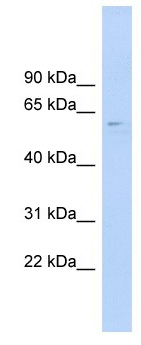 Western blot - CLK4 antibody (ab104321)