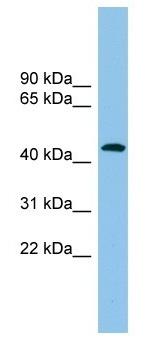 Western blot - ACTR1B antibody (ab104327)
