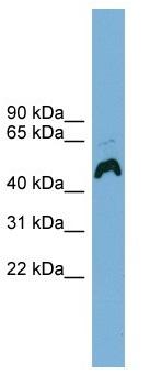 Western blot - ATP6AP1 antibody (ab104339)