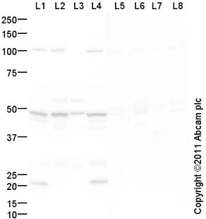 Western blot - Anti-Vasopressin V1b receptor antibody (ab104365)