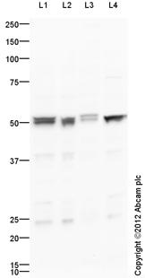 Western blot - Anti-Corticotropin Releasing Factor Receptor 2 antibody (ab104368)