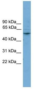 Western blot - CYP2A7 antibody (ab104370)