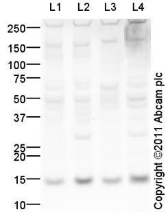 Western blot - Anti-Trophoblast specific protein alpha antibody (ab104401)