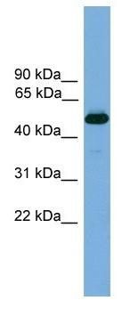 Western blot - Thyroid Hormone Receptor beta antibody (ab104417)