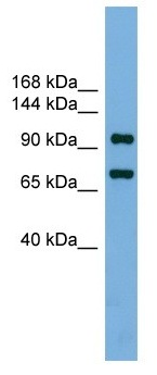 Western blot - Transcription termination factor 1 antibody (ab104418)