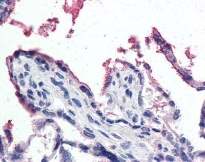 Immunohistochemistry (Formalin/PFA-fixed paraffin-embedded sections) - Glutathione Peroxidase 3 antibody (ab104448)