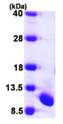 SDS-PAGE - UFM1 protein (ab104461)