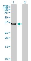 Western blot - BOULE antibody (ab104491)