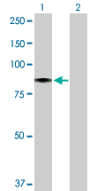 Western blot - HBS1L antibody (ab104519)
