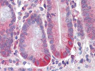 Immunohistochemistry (Formalin/PFA-fixed paraffin-embedded sections) - RELM beta antibody (ab104542)