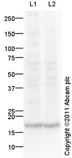 Western blot - Anti-Syndecan 4 antibody (ab104568)
