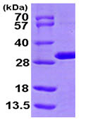 SDS-PAGE - MTHFS protein (ab104635)