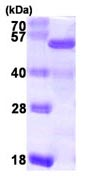 SDS-PAGE - NELFe protein (ab104637)