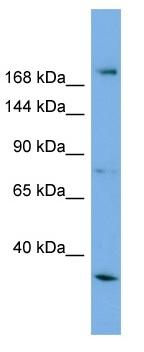 Western blot - Als2 antibody (ab104714)