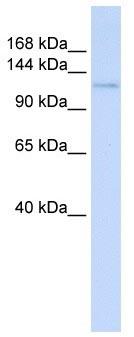 Western blot - Atrophin 1 antibody (ab104728)