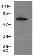 Western blot - Cryptochrome I antibody (ab104736)