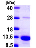 SDS-PAGE - S100A5 protein (ab104750)