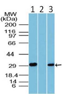 Western blot - HMGB1 antibody (ab104774)