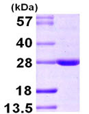 SDS-PAGE - BAG2 protein (ab104795)