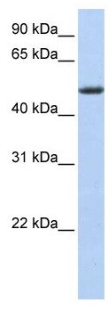 Western blot - PHLDA1 antibody (ab104808)