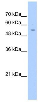 Western blot - PGS1 antibody (ab104815)